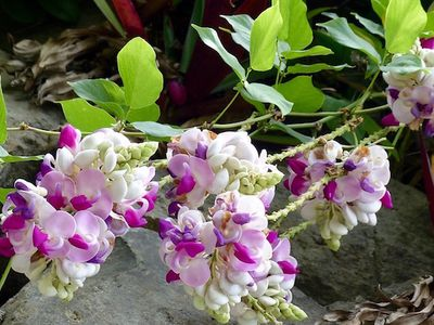 White and purple shell flowers on vine with delicate oval leaves