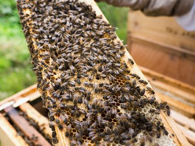 Step-by-Step Guide for Inspecting a Honey Bee Hive