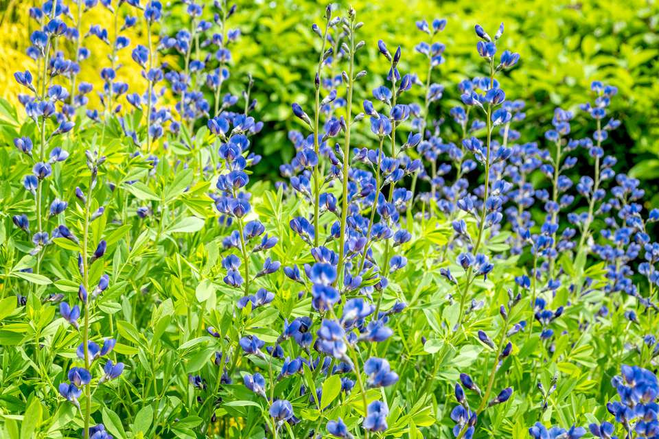 False indigo plant with blue flowers on tall stems in garden