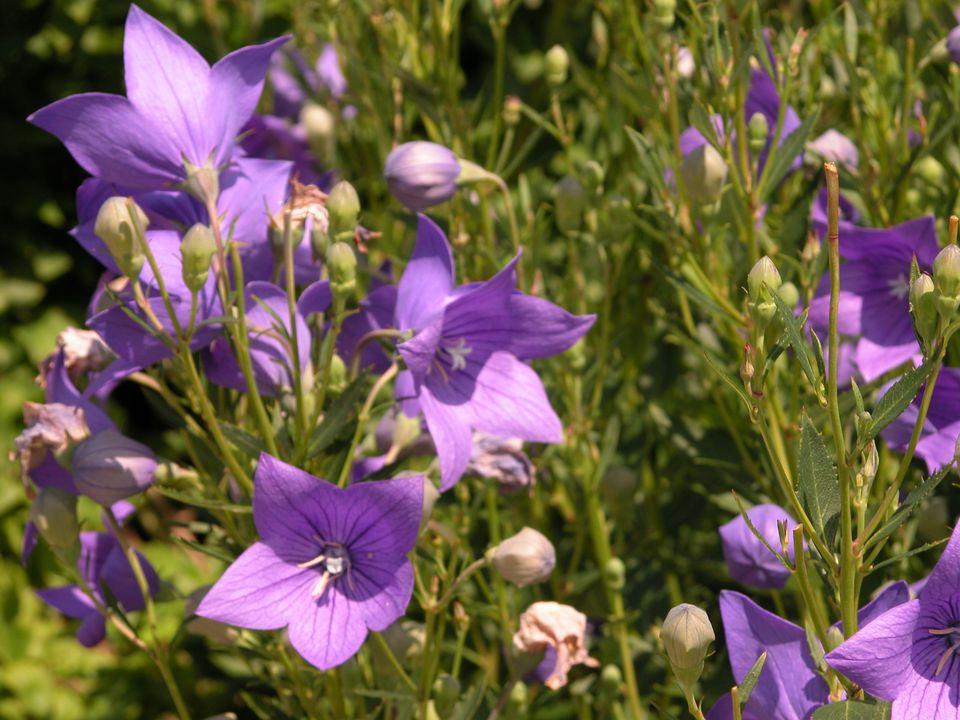 Top 15 fall blooming flowers for a perennial garden balloon flower platycodon mightylinksfo