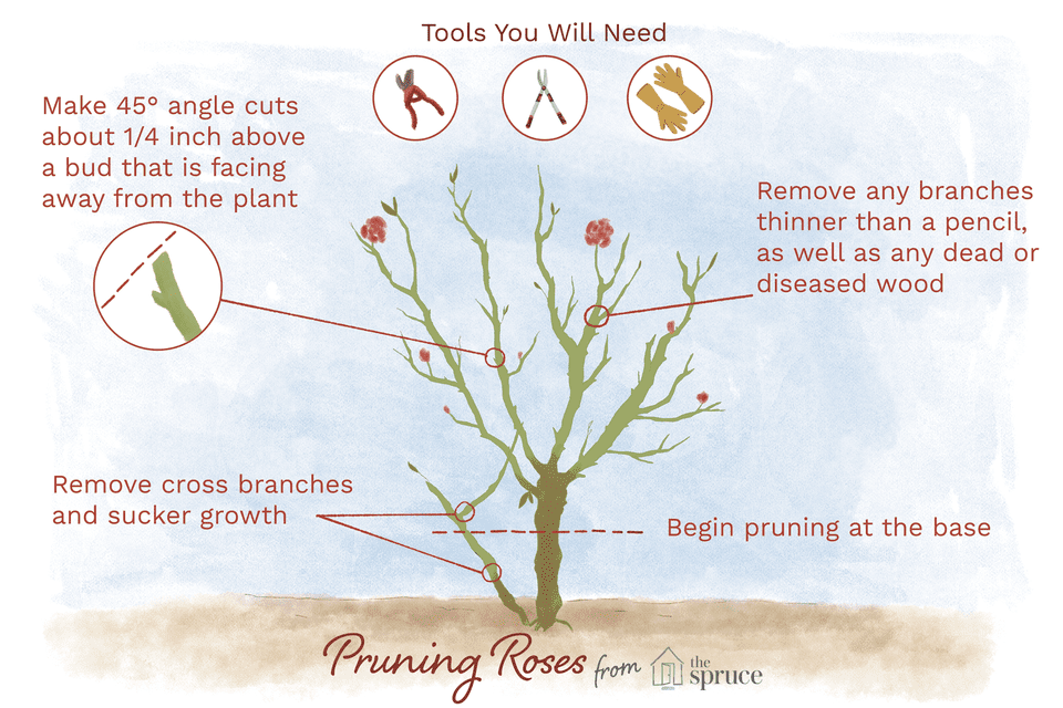 Illustration depicting the right way to prune a rose bush