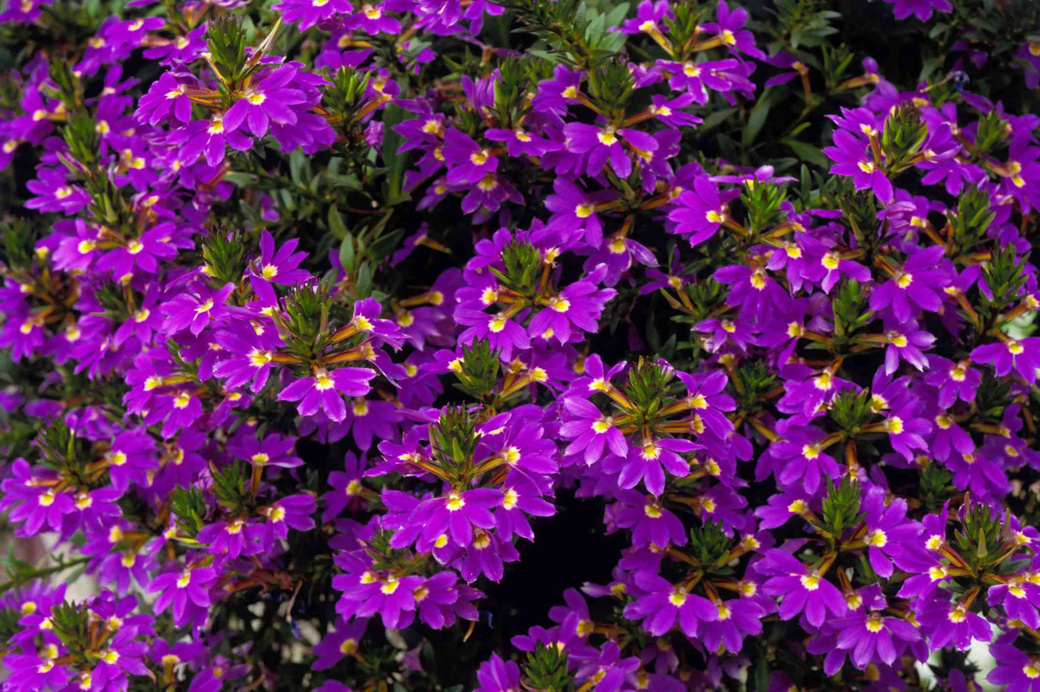 Scaevola 'Purple Fanfare'