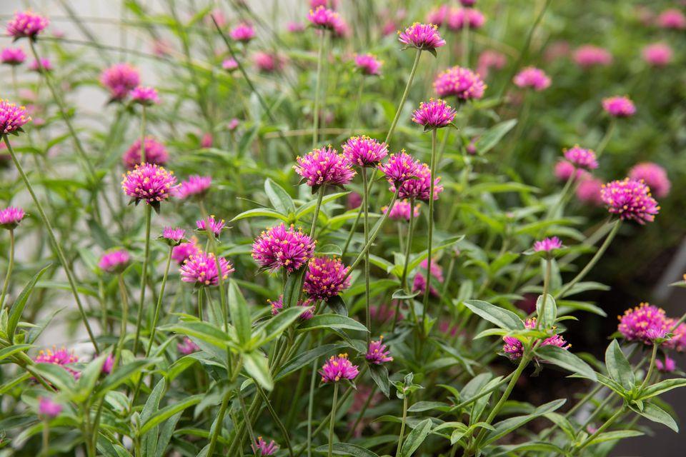 Pink flowers in shady garden shrub