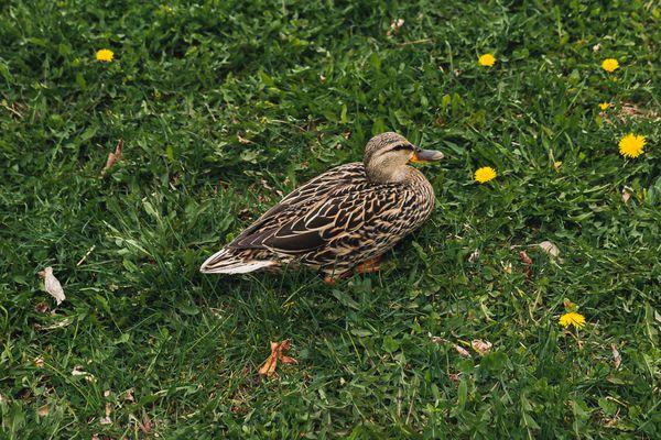 Mallard duck sitting on grass with small yellow wildflowers