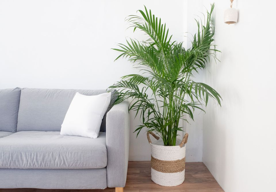 indoor palm tree in the living room