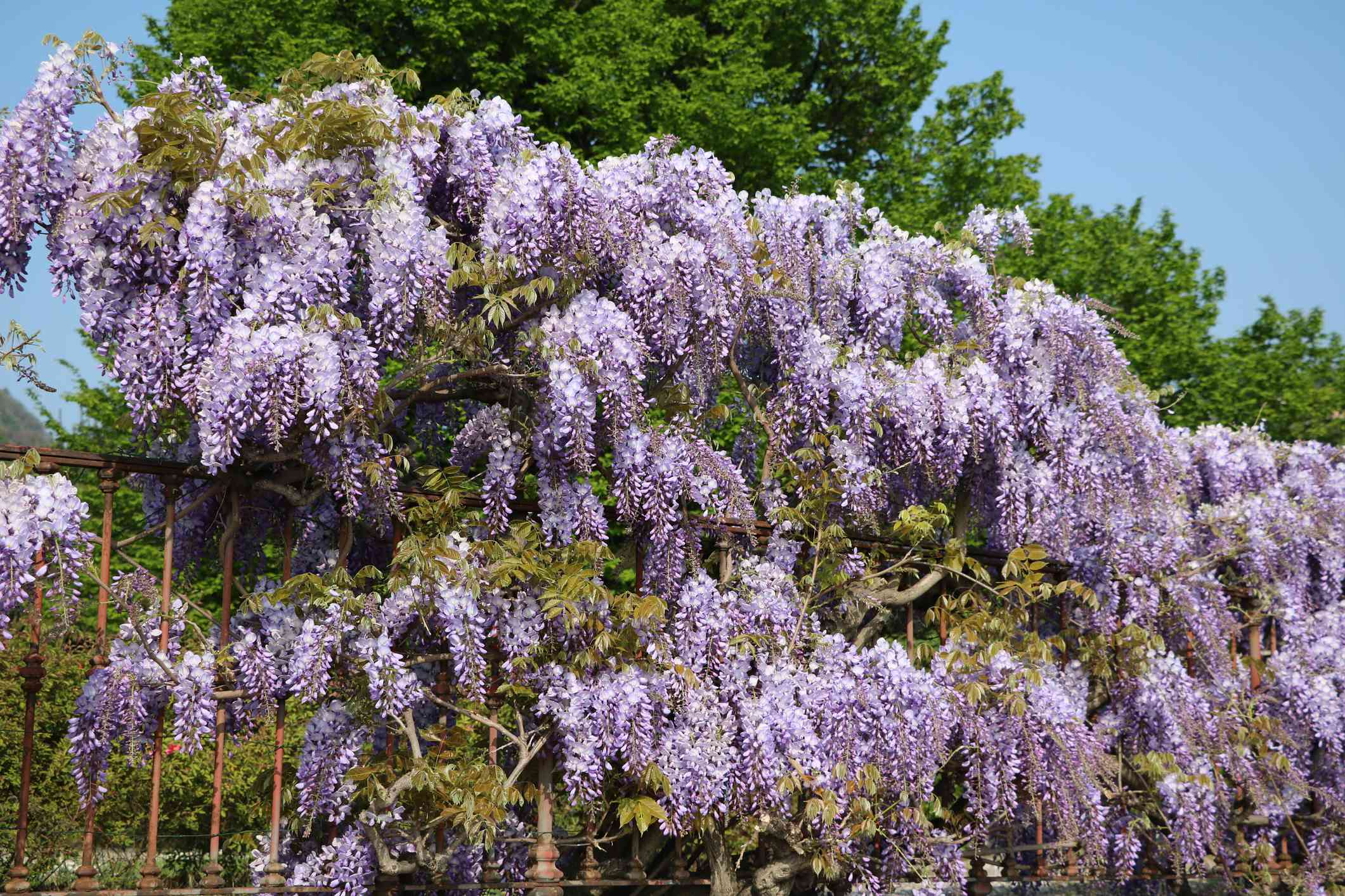 Texas Purple Japanese Wisteria in spring at Lake Como, Italy