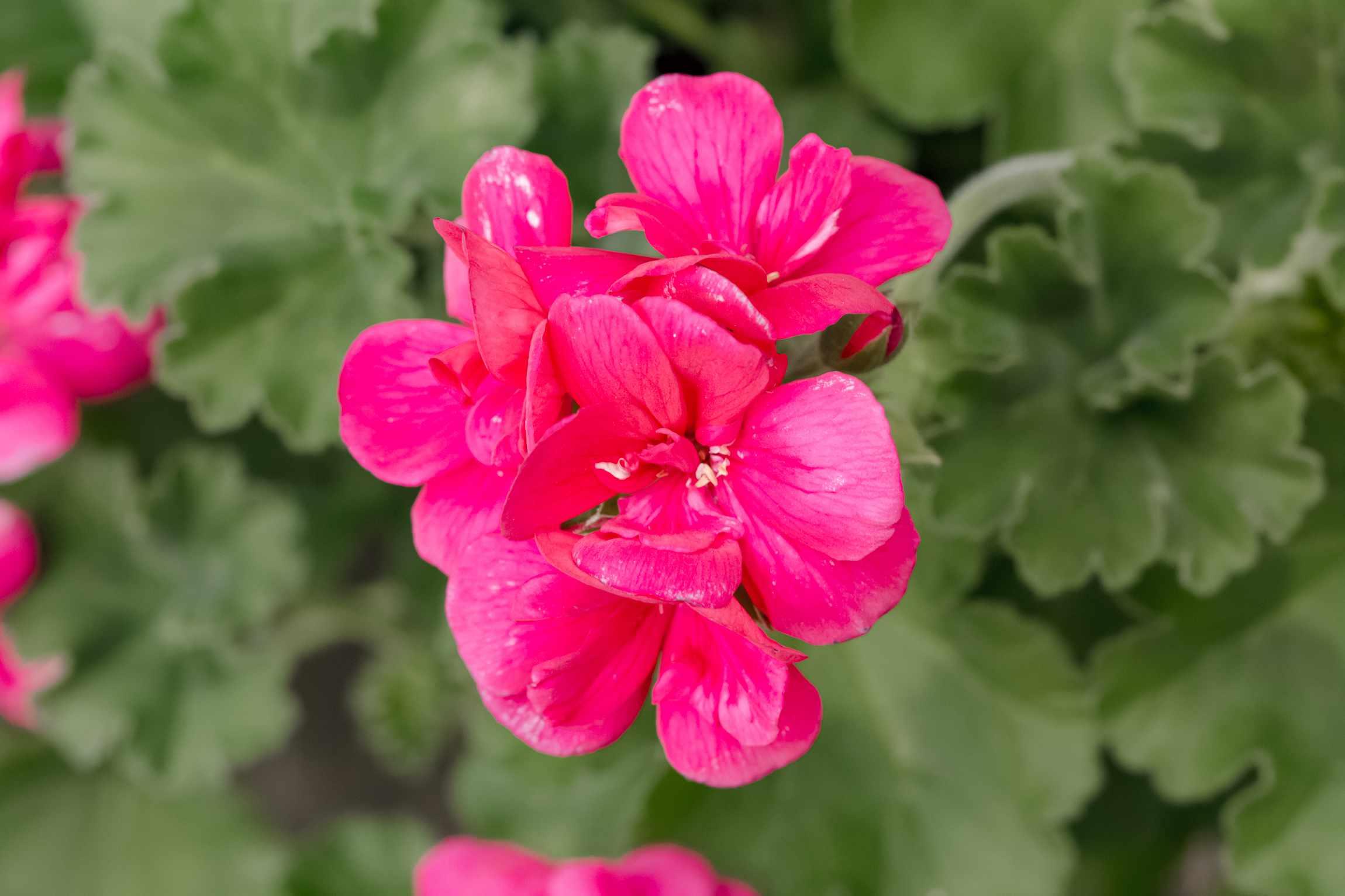 closeup of geranium blooms