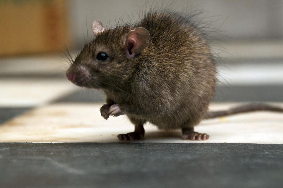 Rat perched on kitchen floor
