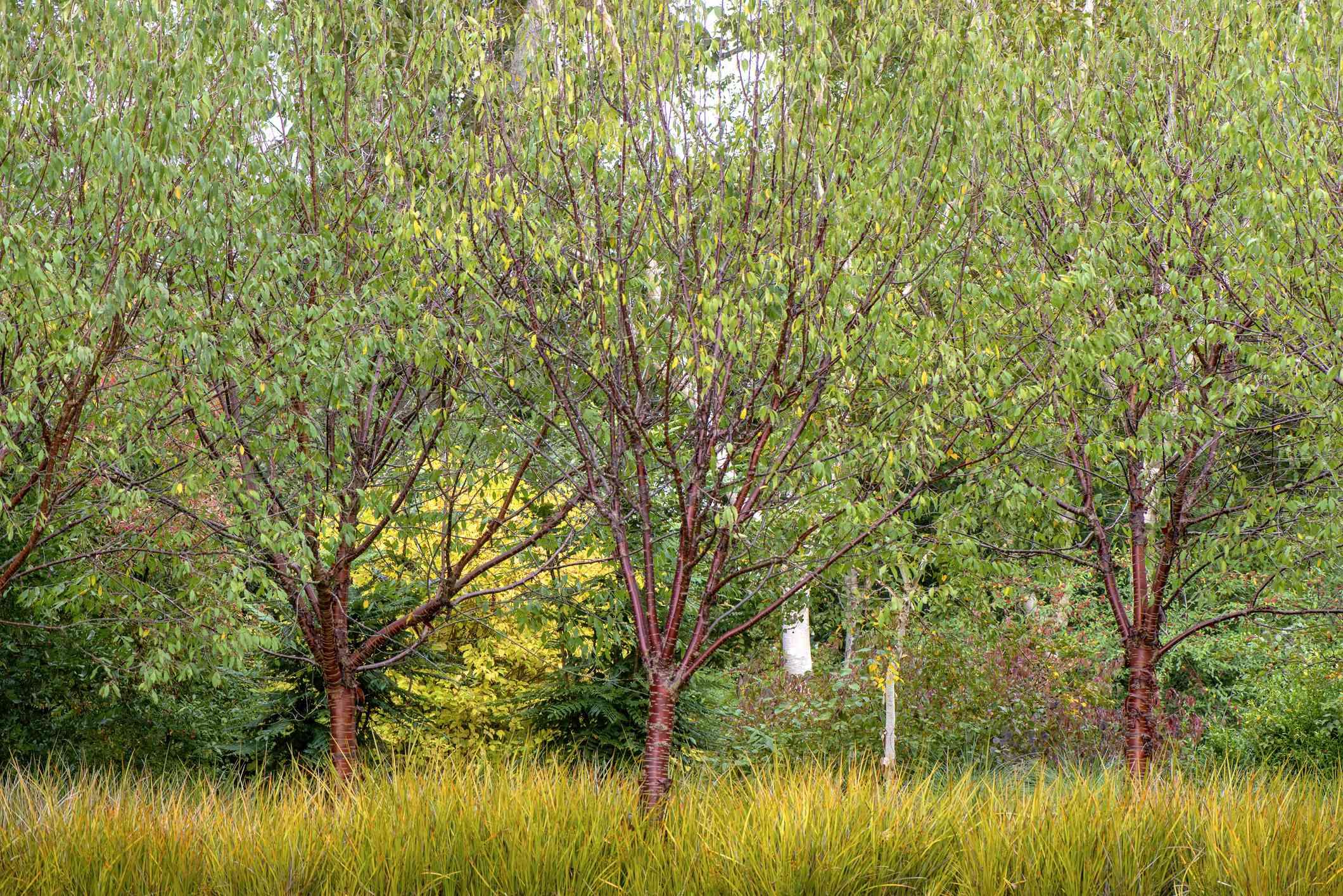 Libertia peregrinans 'Gold Leaf' planted underneath Prunus serrula trees, also called birch bark cherry, birchbark cherry, paperbark cherry, or Tibetan cherry
