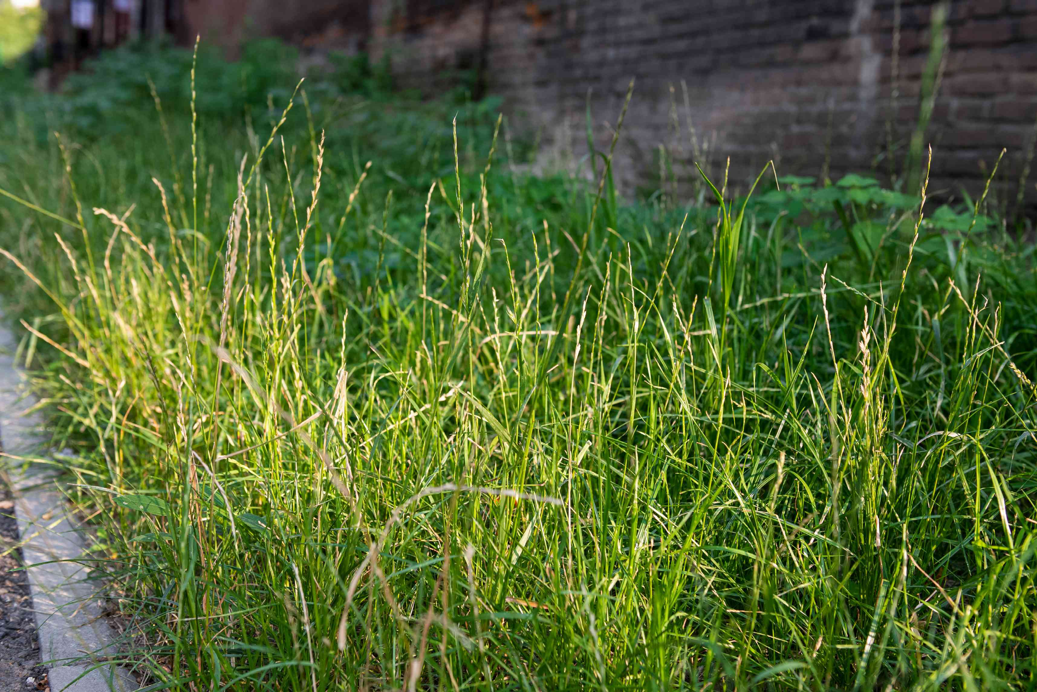 Perennial ryegrass with short and thin green blades and tan seed stems in lawn