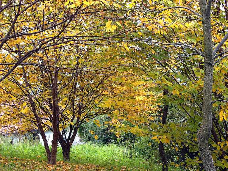 yellow birch