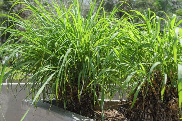 Citronella grass (Cymbopogon nardus)