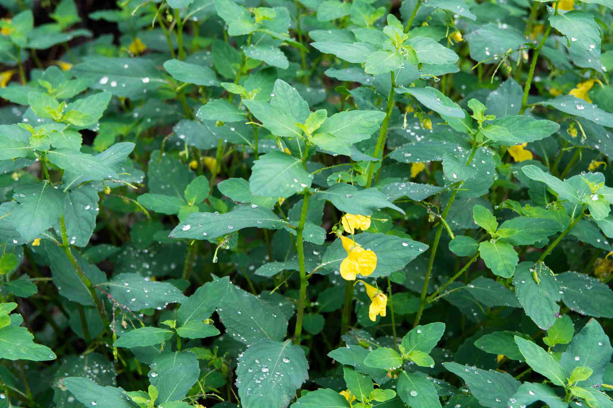 Parche de joya amarilla en flor