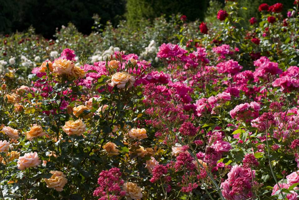 Gene Boerner y Betty Prior Floribunda Roses
