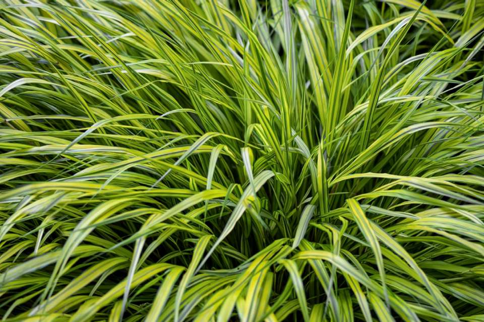 Golden Japanese forest grass plant with arching bright green blades closeup