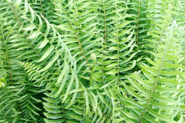 Macho ferns (Nephrolepis biserrata), also known as broad sword ferns, growing outdoors.