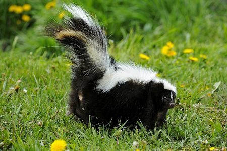 Get Rid of Skunk Odor: What Really Works