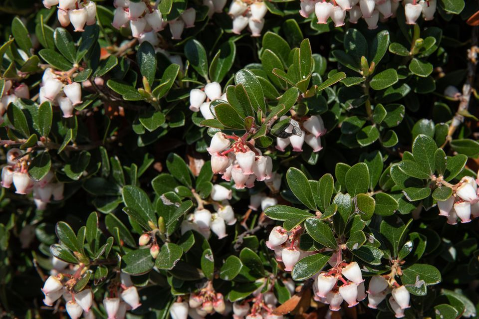 Bearberry sub-shrub with small dark-green leaves and small white bell-shaped flowers closeup