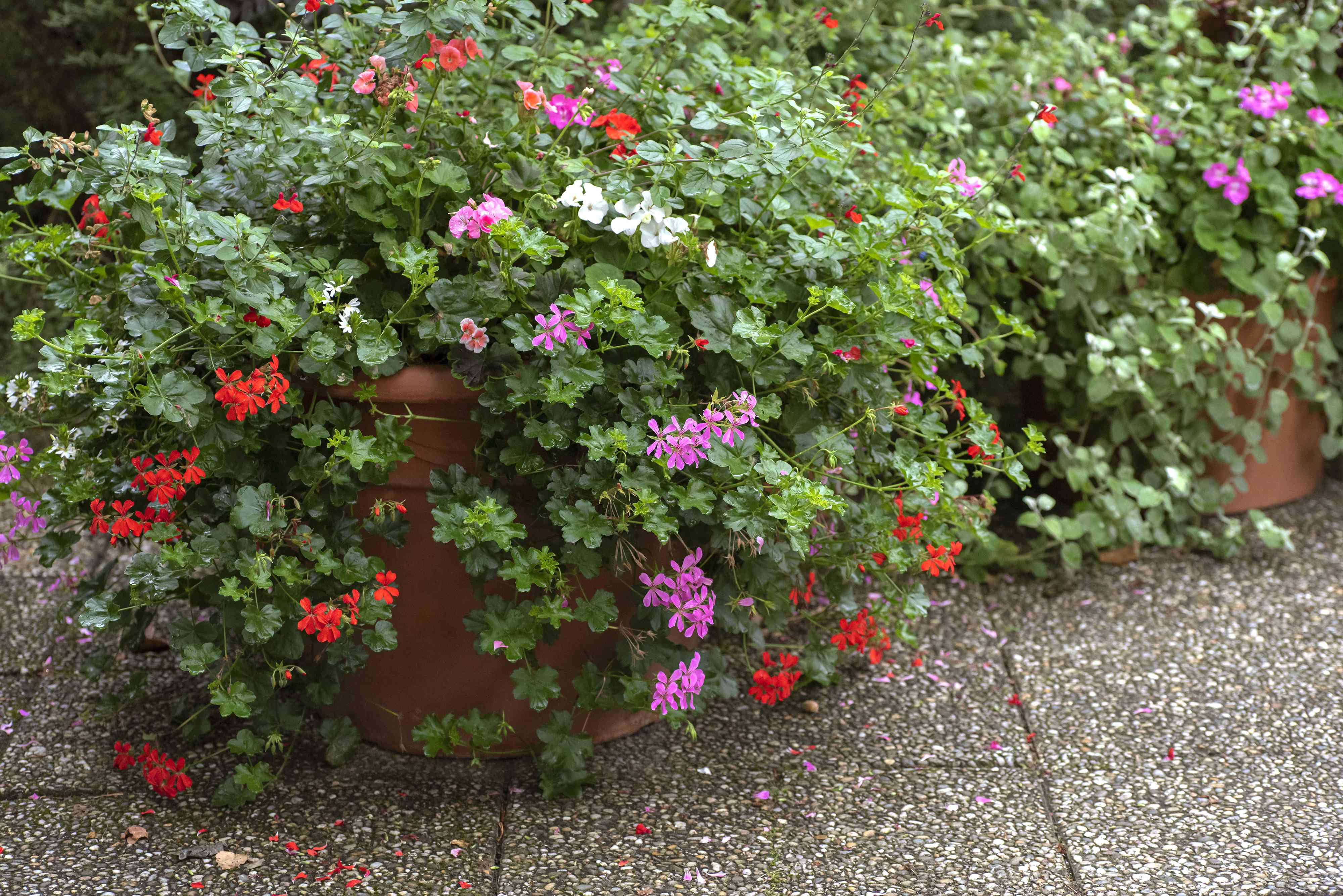 Ivy geranium plants hanging over containers with small pink, red and white flowers and circular leaves