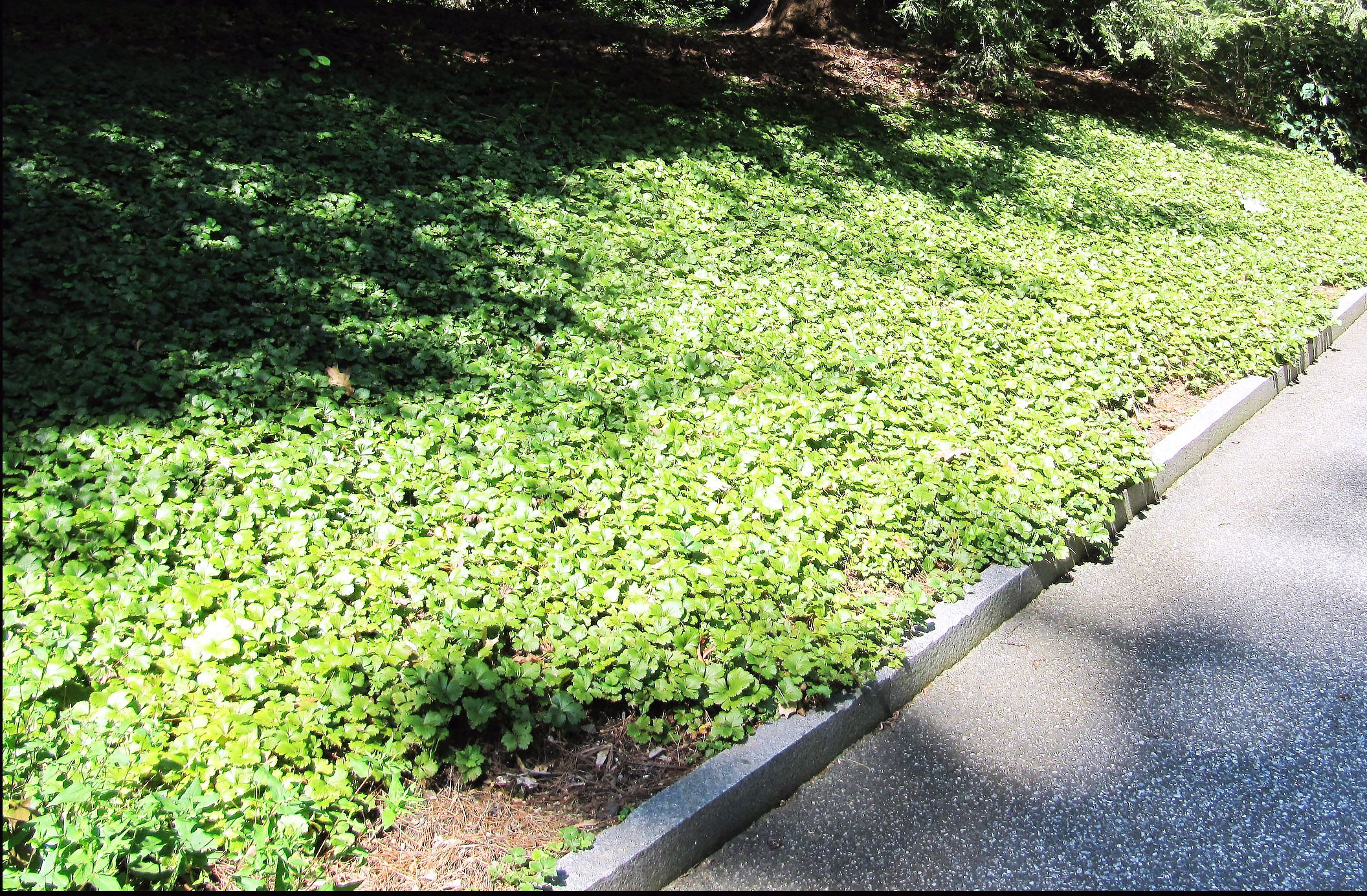 barren strawberry for covering ground in shade