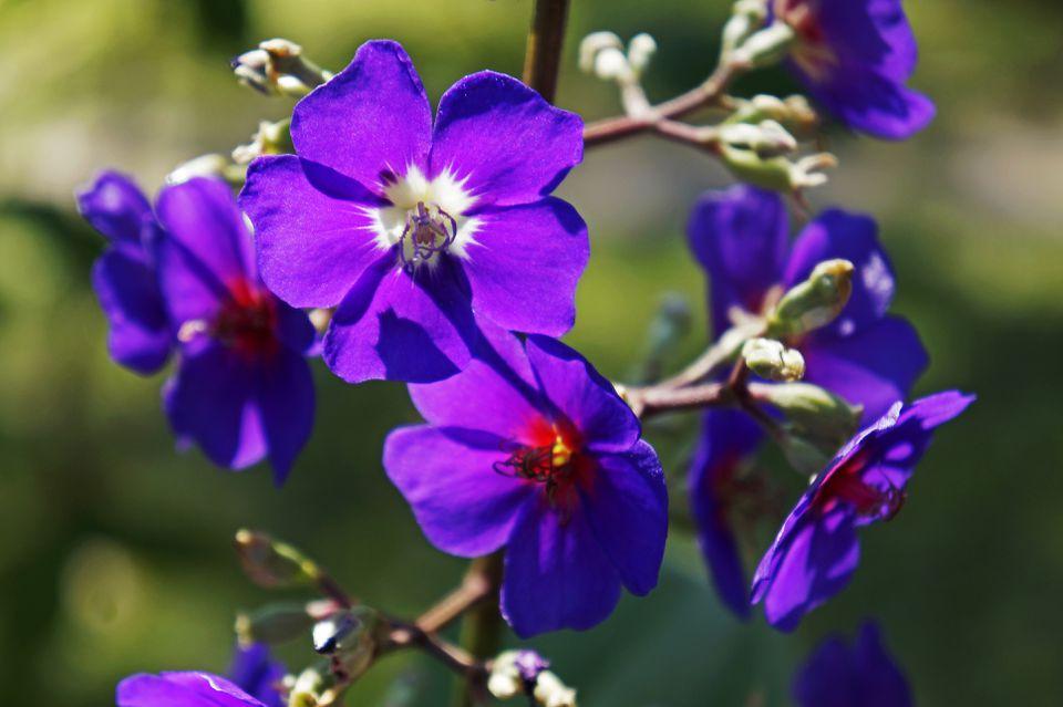 Silverleafed Princess Flower