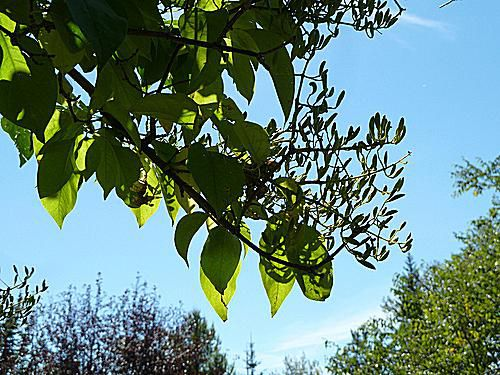 Imagen de Japanese Tree Lilac