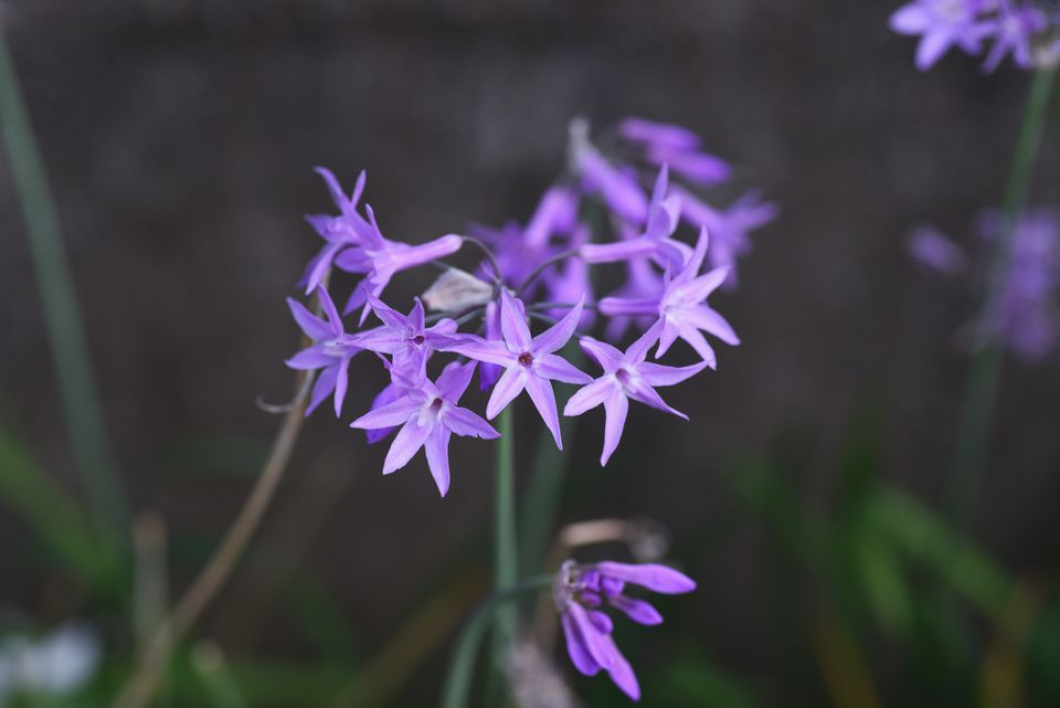 Lavender bloom of Society Garlic (Tulbaghia violacea)