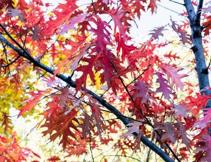 Scarlet oak tree with dark colored trunk and branches with scarlet-colored leaves