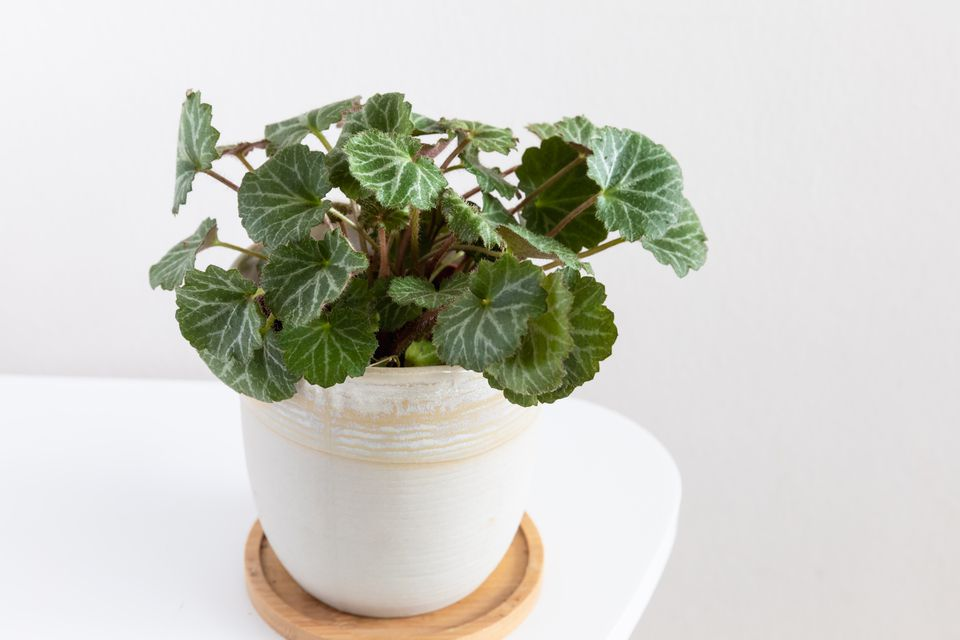 strawberry begonia plant