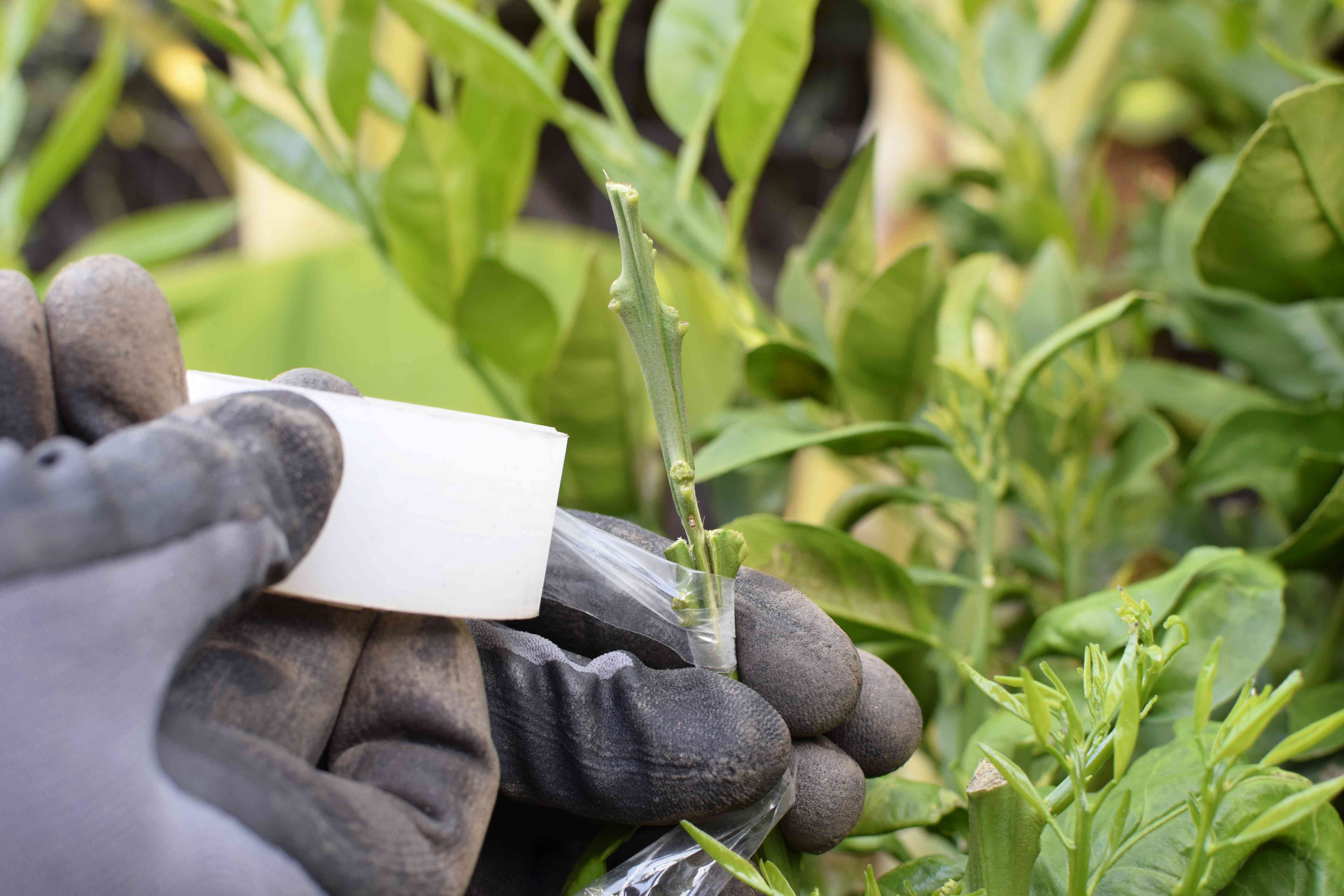 Scion buds around plant stem with planters tape with gloves