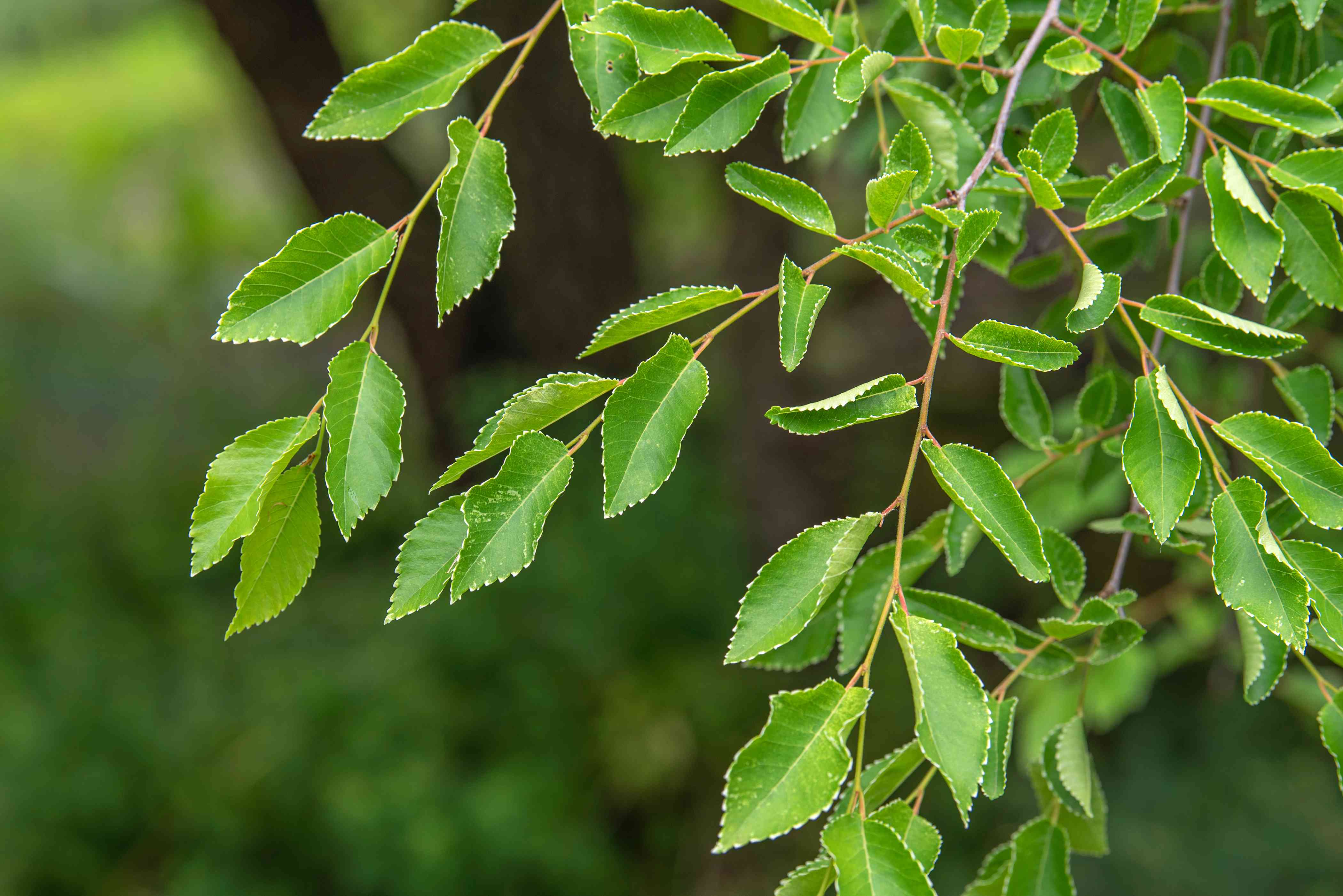 Lacebark elm tree branches with bright green and rib-edged leaves