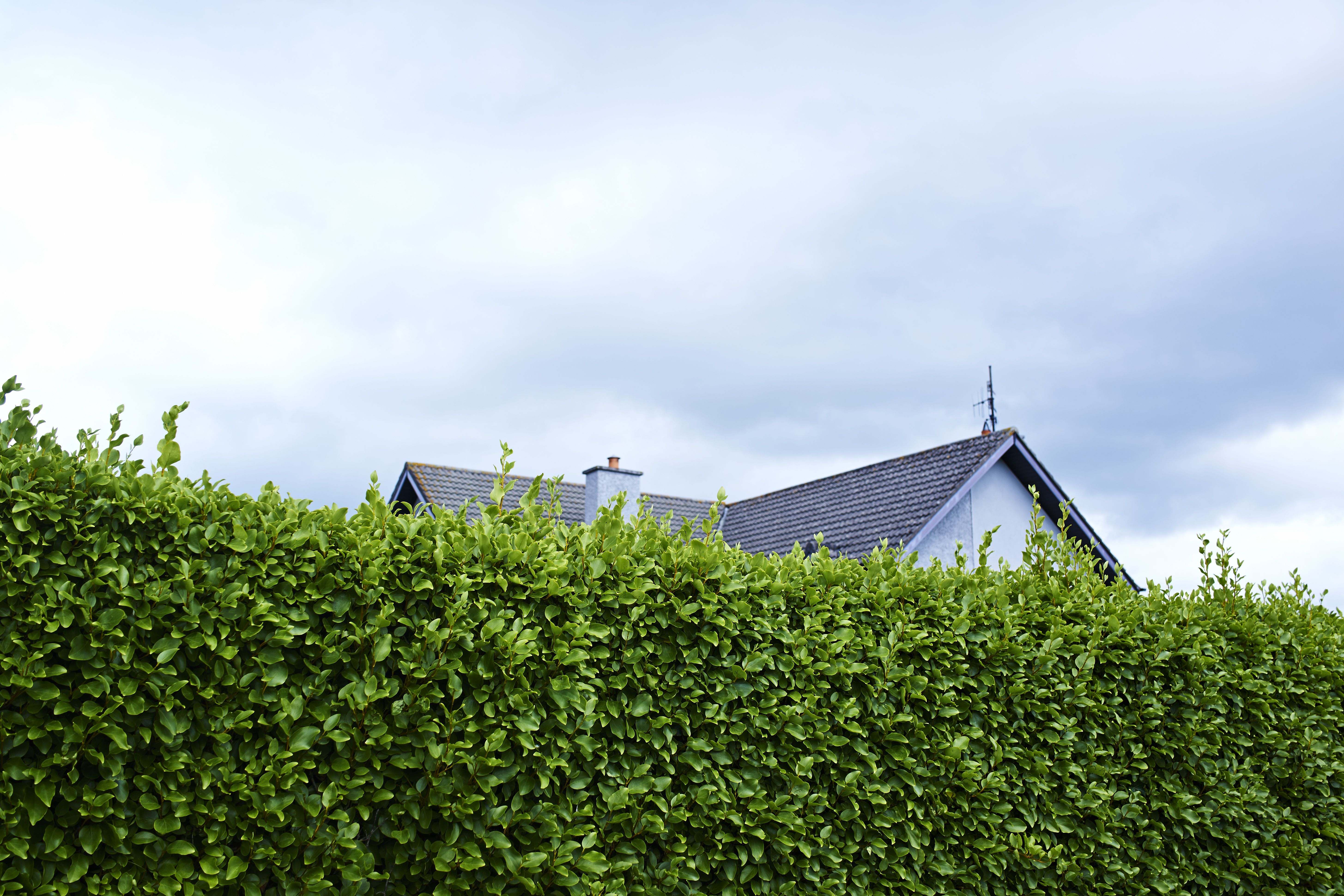 Tall green boundary hedge with house behind