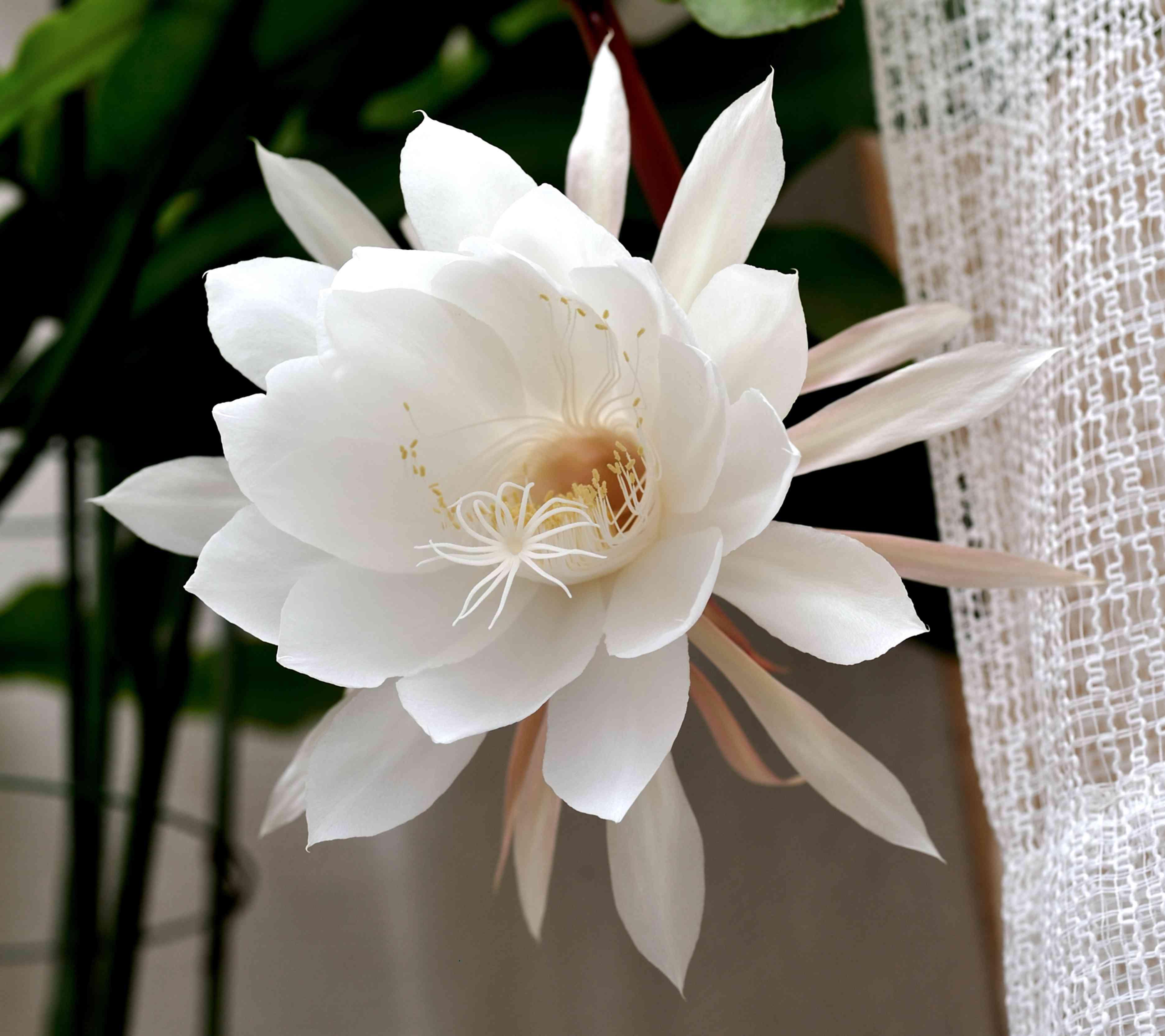 Flower of Epiphyllum oxypetalum.