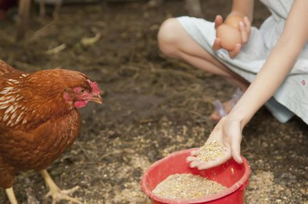 6641156f250 How and What to Feed Your Chickens or Laying Hens