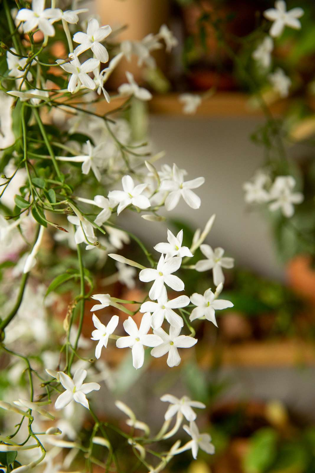 Vining jasmine with flowers closeup