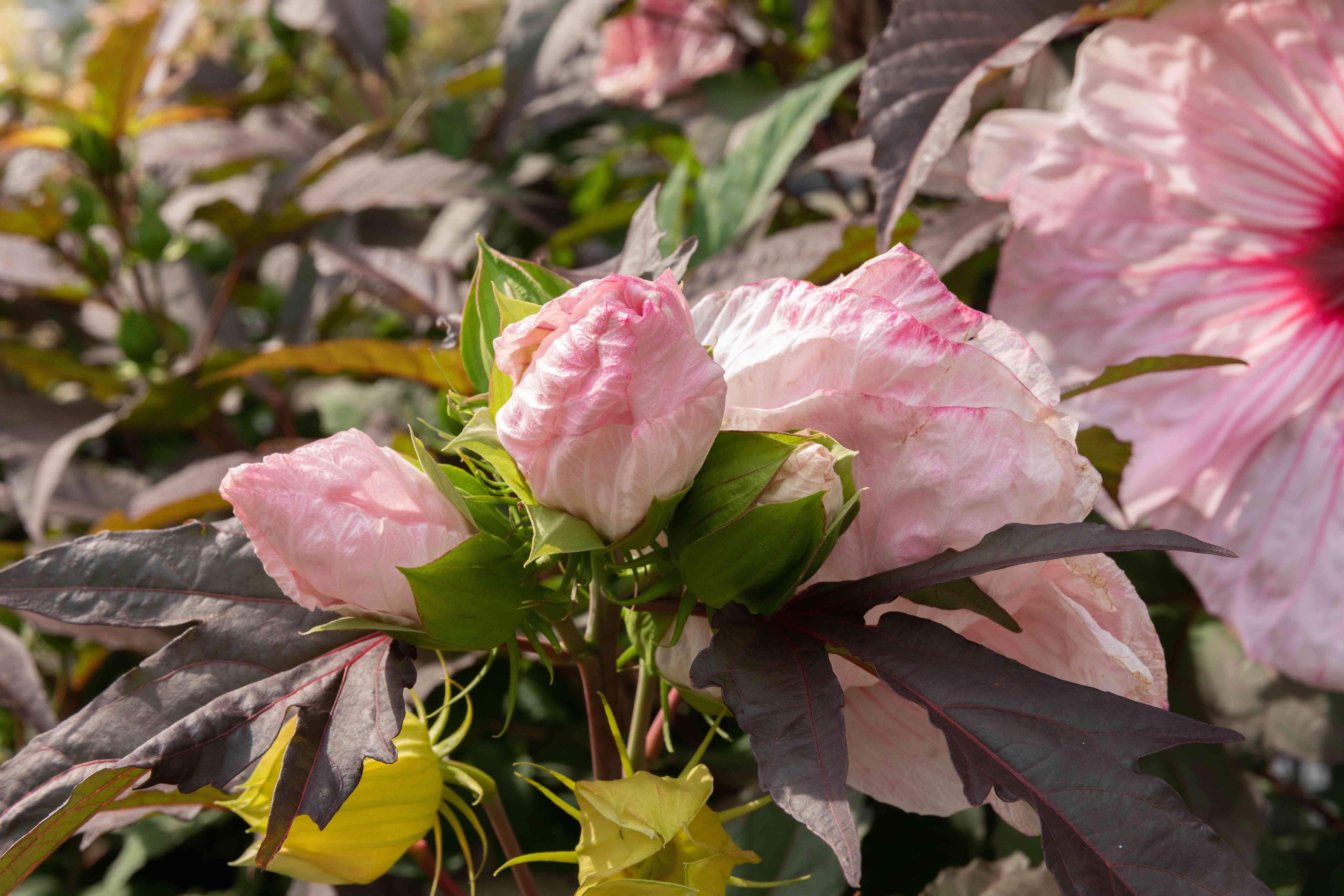 hardy hibiscus buds
