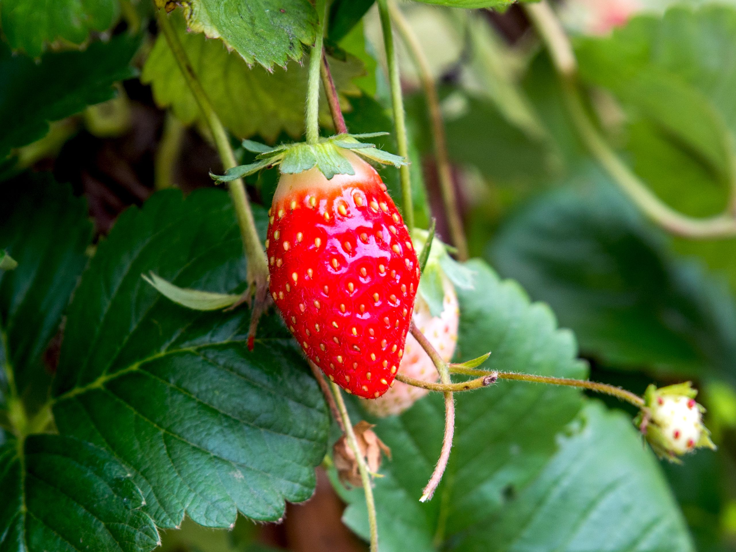 Garden Strawberry Care And Growing Guide