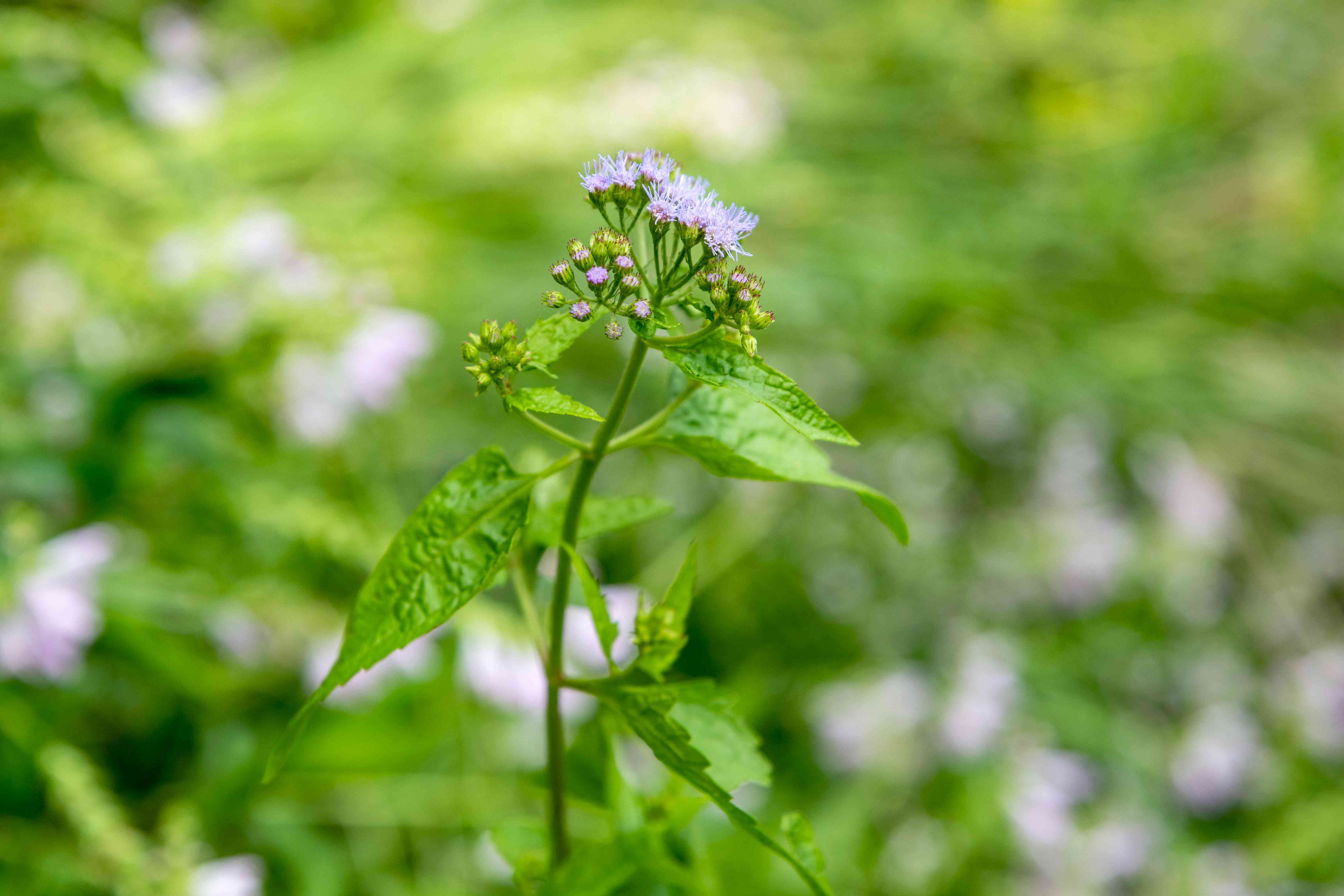 Blue mistflower with purple-blue fuzzy flowers and buds on top of thin stem