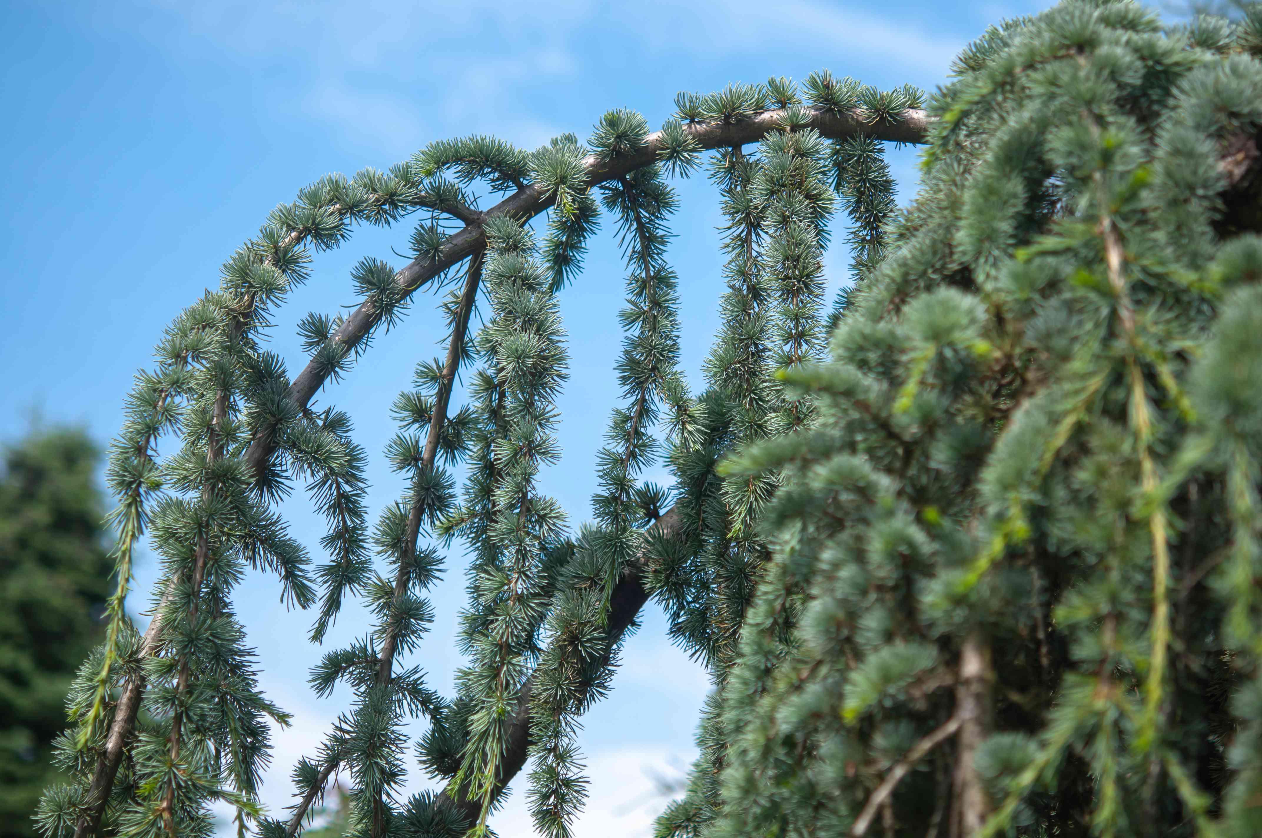 Blue atlas cedar branch with evergreen needle whorls closeup