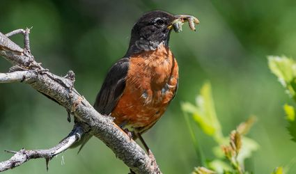 robin eating a worm