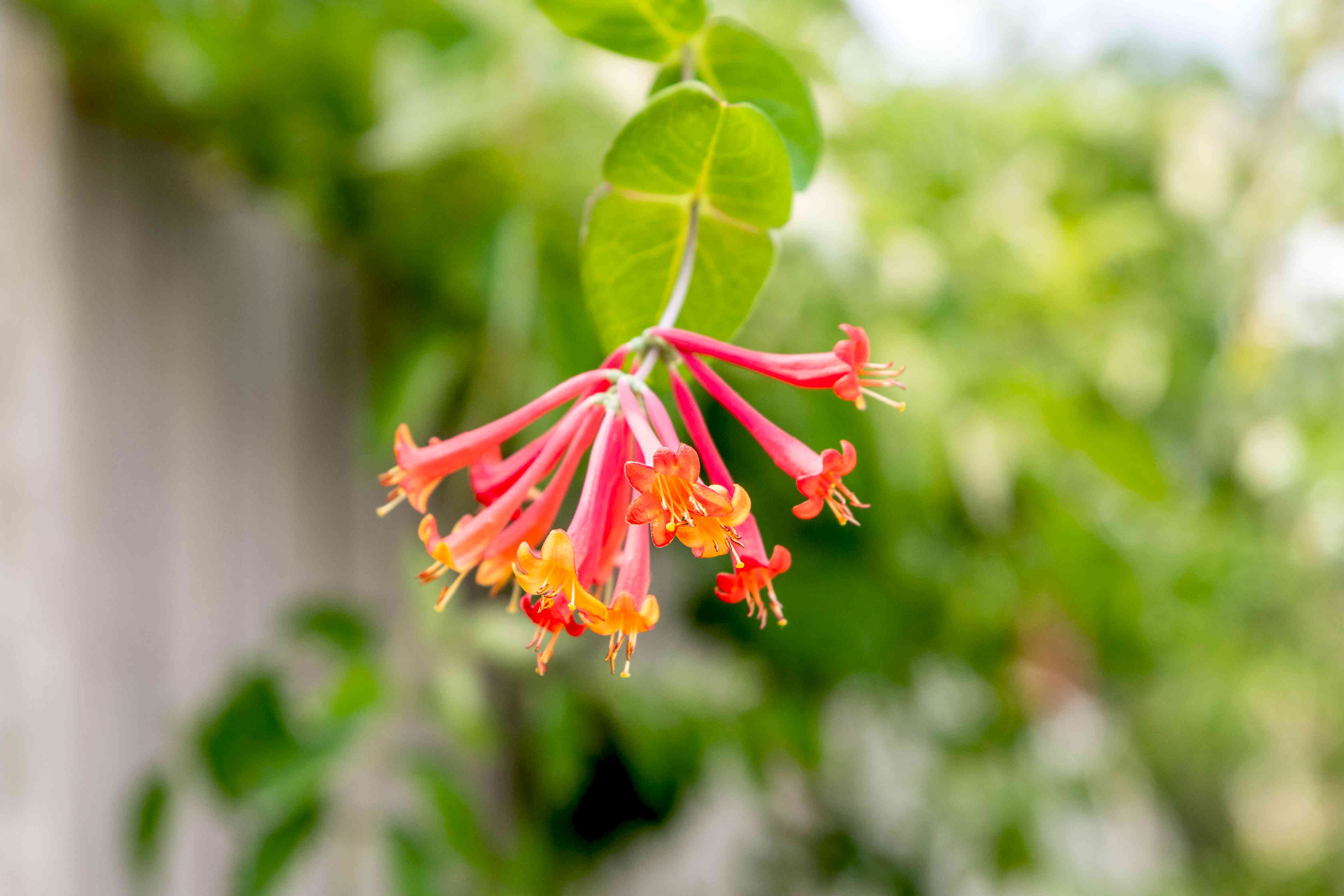 Coral honeysuckle plant branch with red and orange tubular flowers closeup