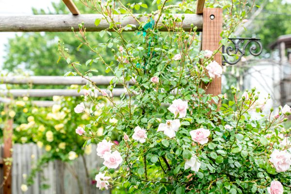 Climbing rose bush on wooden structure with white and light pink flowers