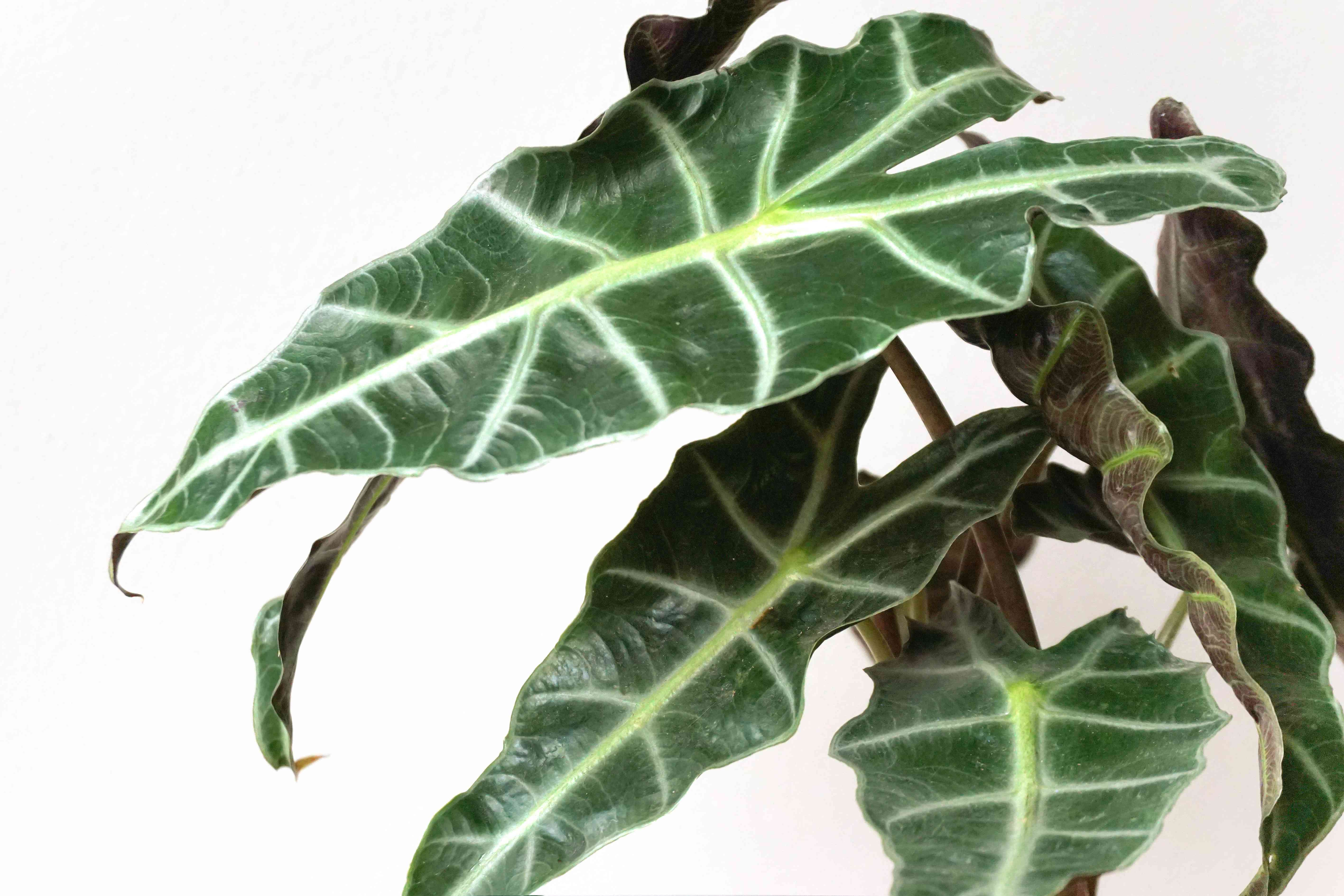 closeup of alocasia leaves