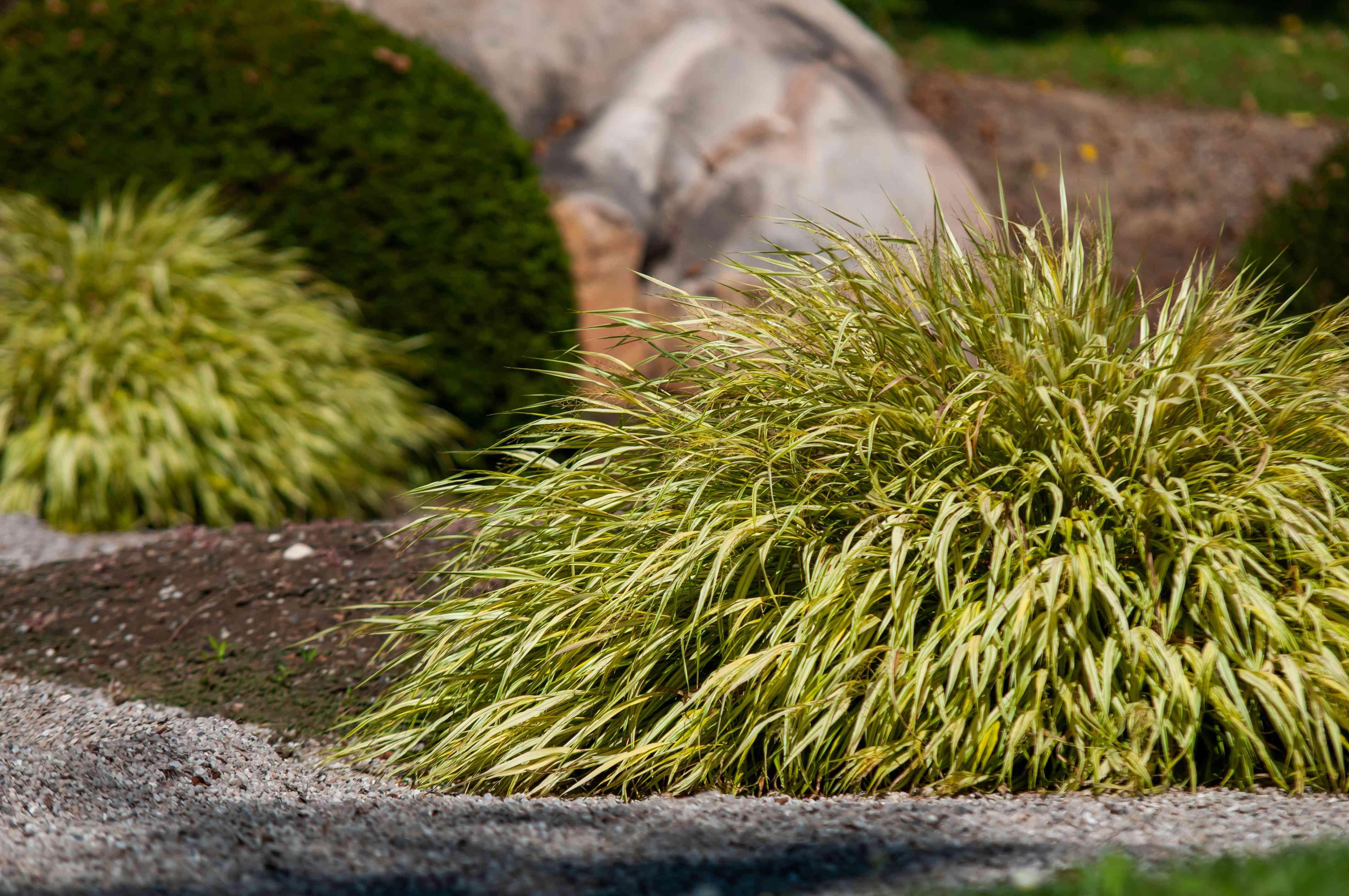 macra aureola shrub