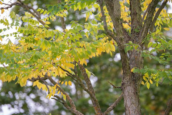 Kentucky coffee tree with upright branches and yellow-green leaves