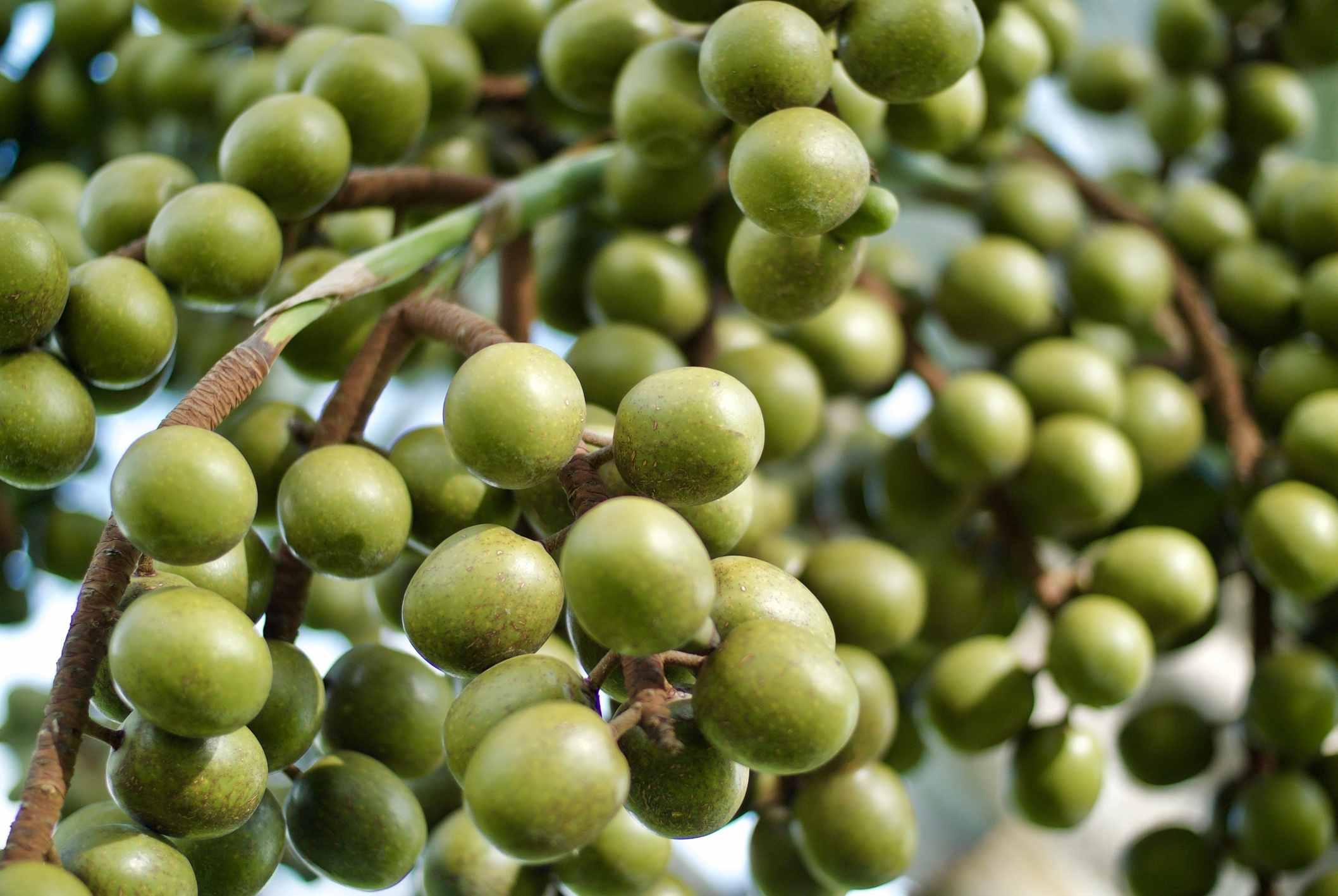 Branch full of green Manzanilla olives