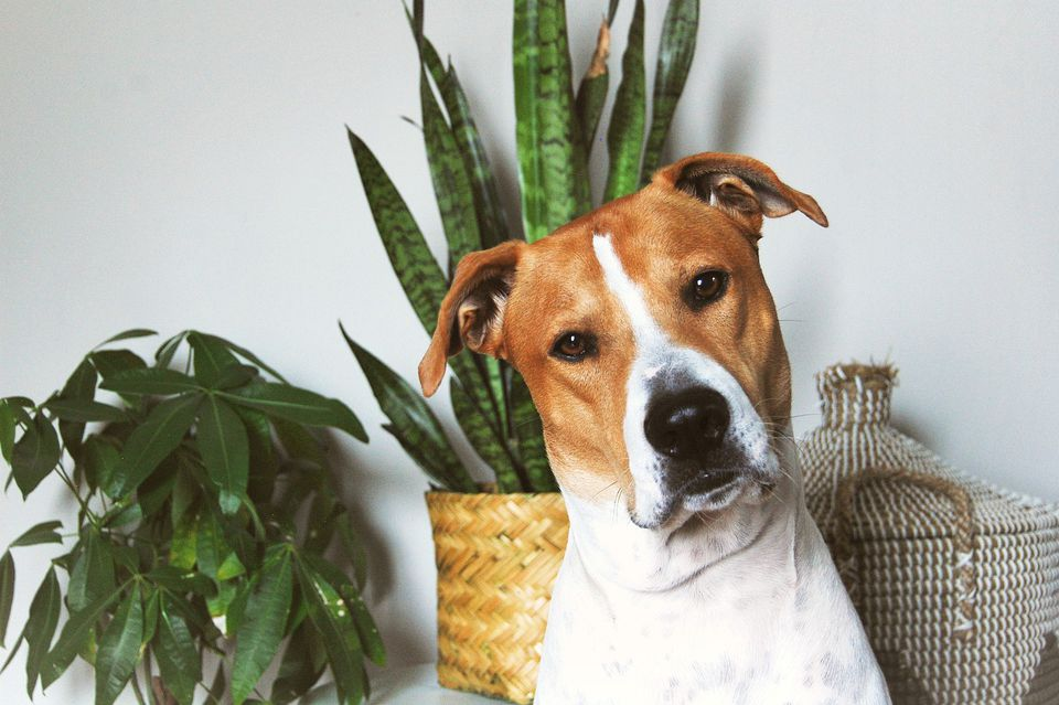 A brown and white dog sits in front of plants and a basket, looking at the camera.