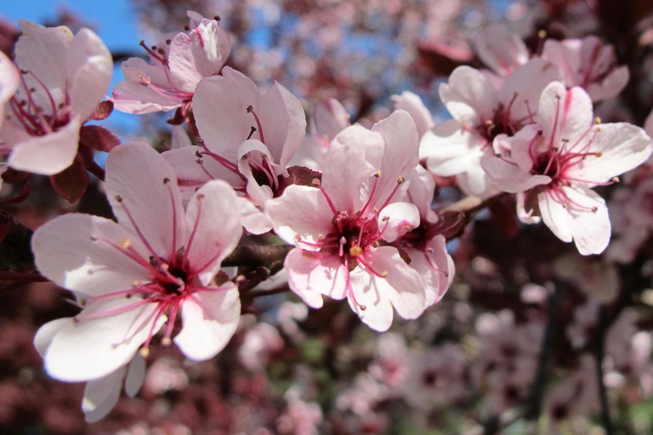 How To Grow The Purple Leaf Sand Cherry