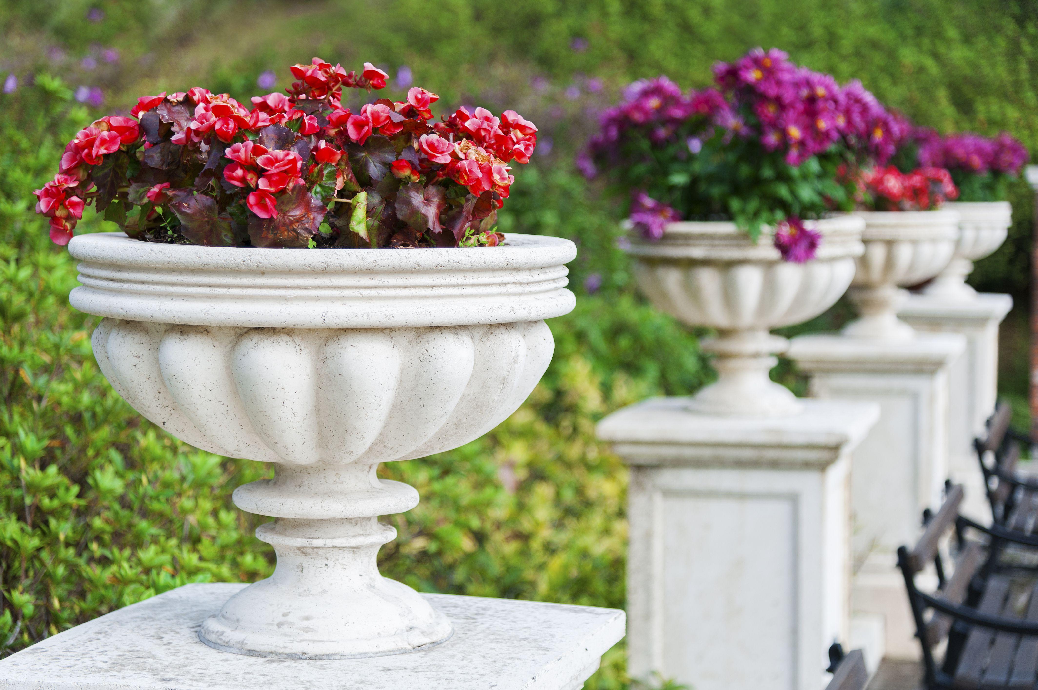 Begonia Patio Plants