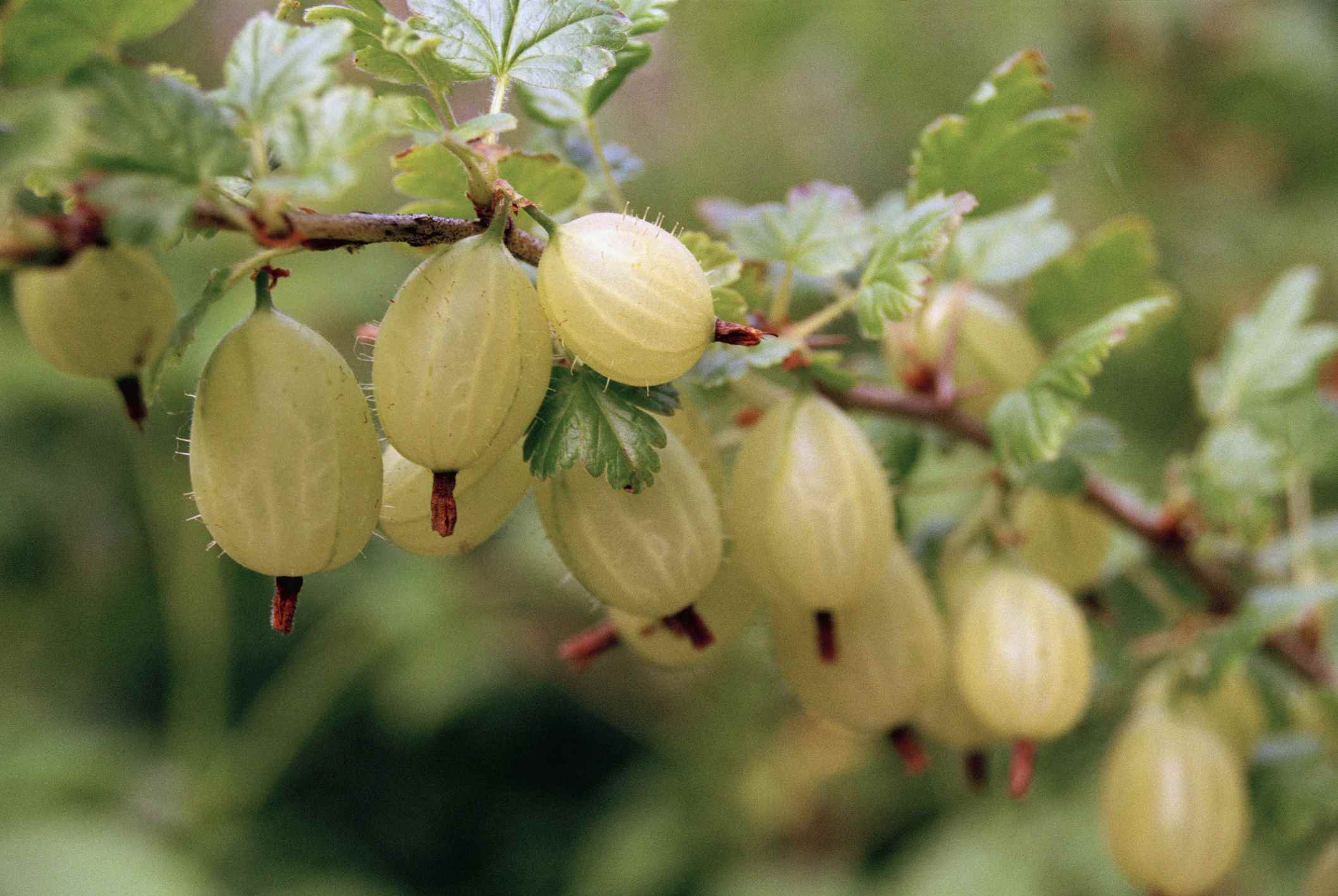 Detail of gooseberries on a branch
